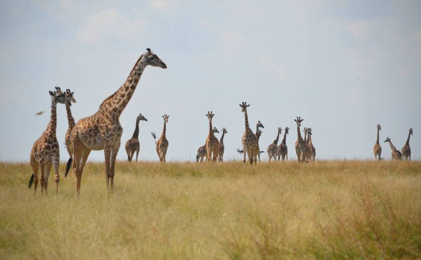 Memories: Before Giraffes Left the Rangelands