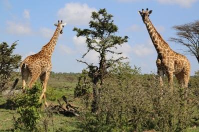 Giraffee 930A4736
