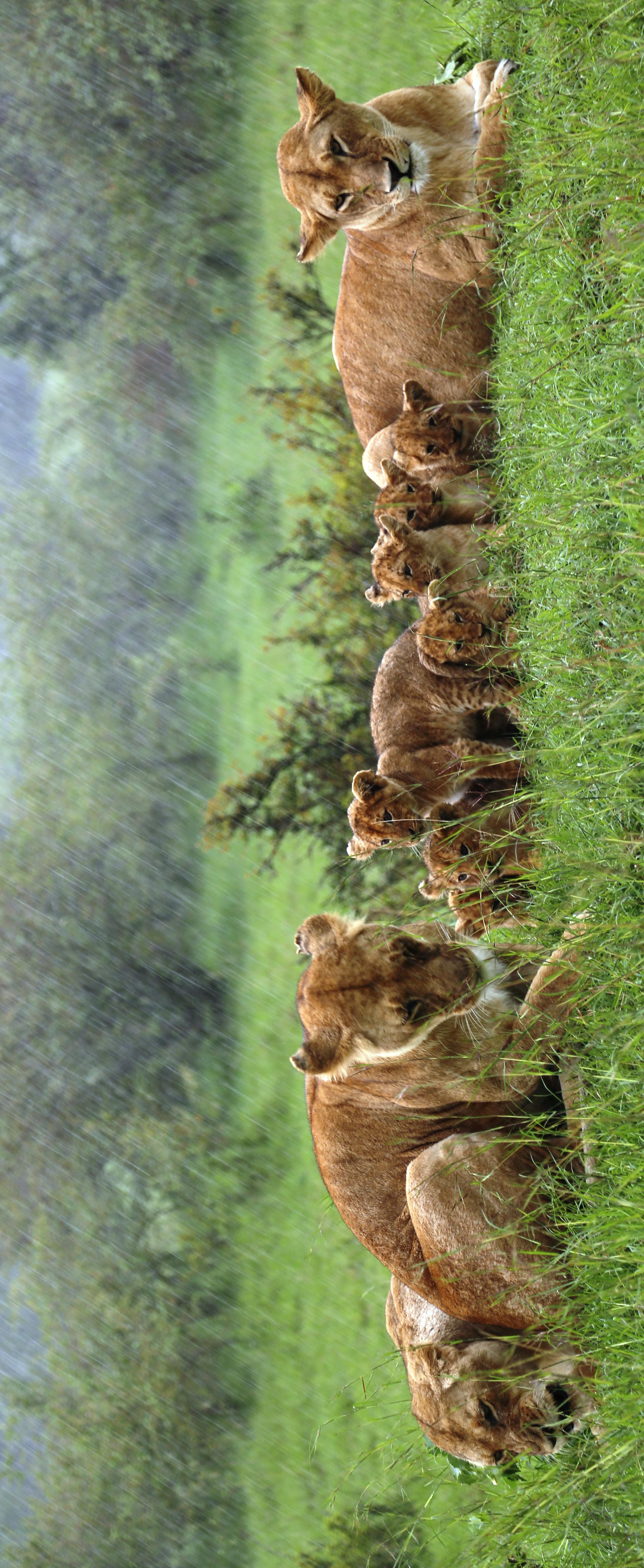 Lion Crop 930A4615
