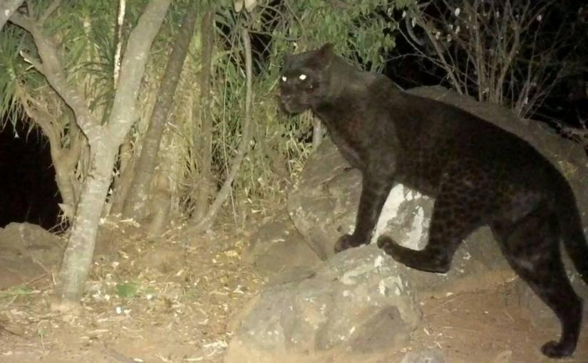 How a 24-year old Samburu Warrior Captured Images of  Kenya's Black Leopard